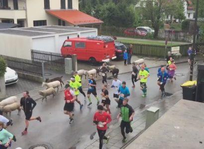 VIDEO: vacas, burros y rebaño de ovejas se unen a una carrera